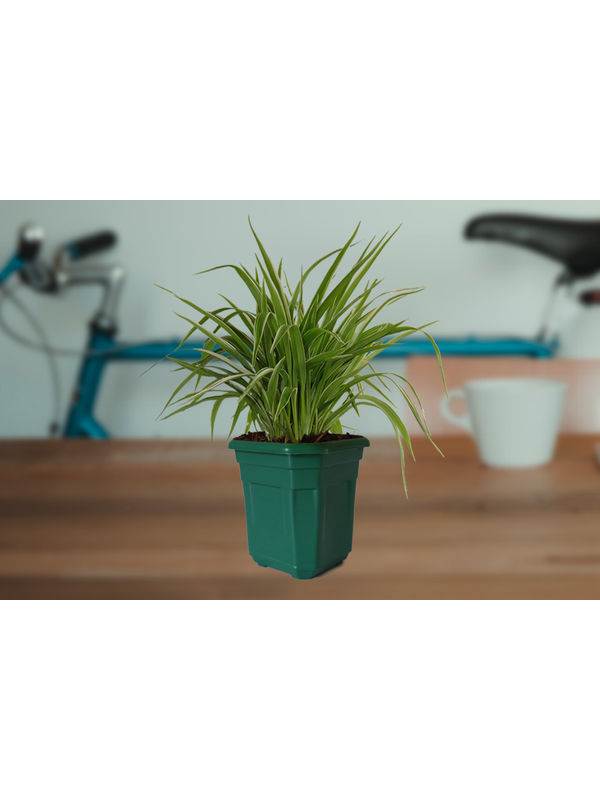 Air Purifying Spider Plant in Green Hexa Pot