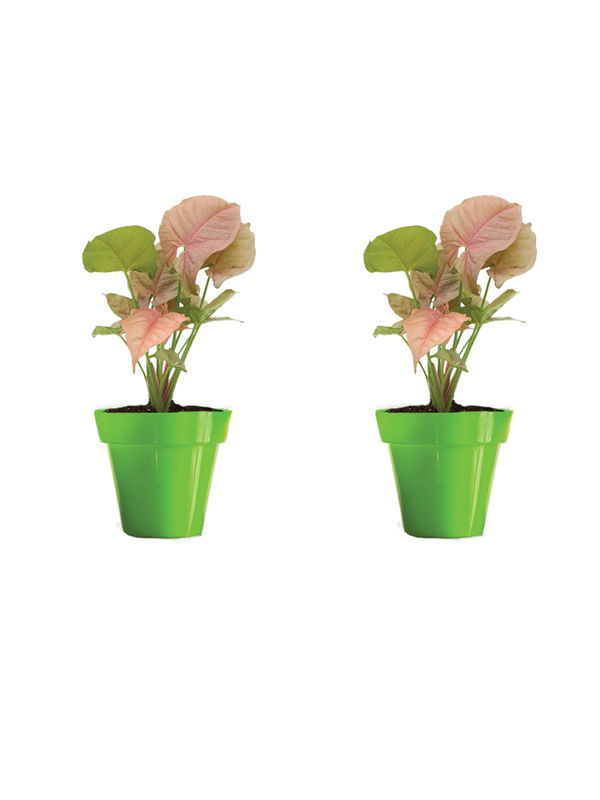 Rolling Nature Combo of Good Luck Syngonium Pink Plant in Small Green Colorista Pot Set of 2