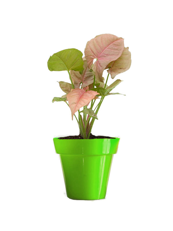 Rolling Nature Good Luck Pink Syngonium Plant in Small Green Colorista Pot