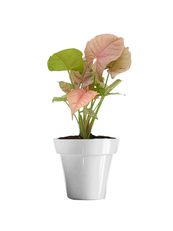 Good Luck Pink Syngonium Plant in Small White Colorista Pot