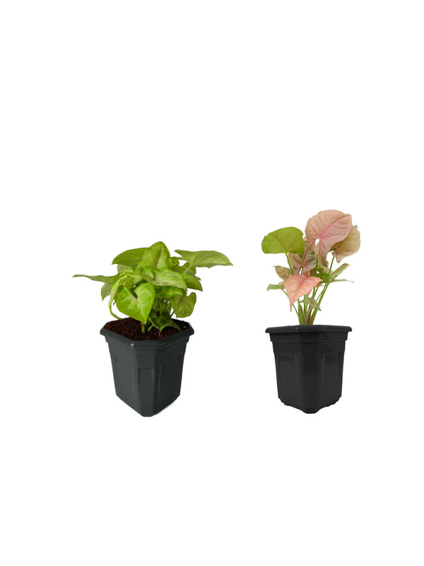 Syngonium Red Line and Syngonium Pink Combo of Lucky Plants in Black Hexa Pot