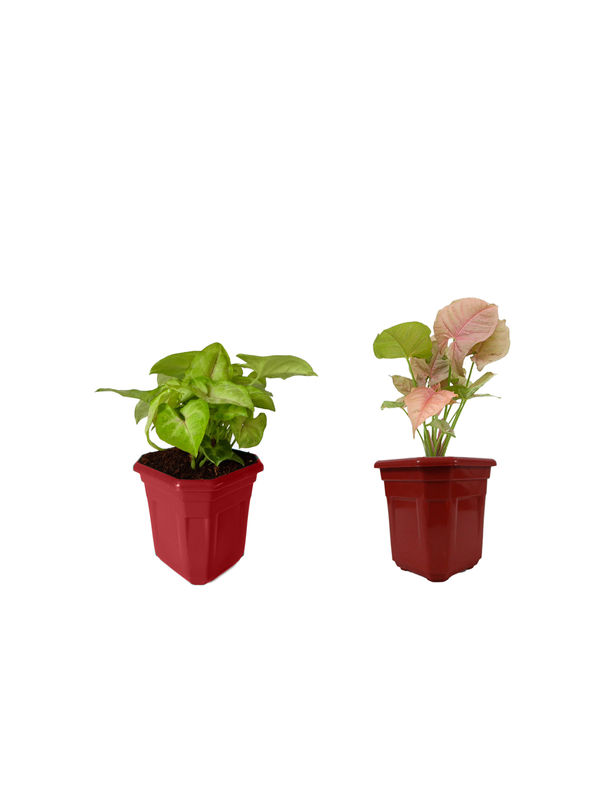 Syngonium Red Line and Syngonium Pink Combo of Lucky Plants in Maroon Hexa Pot