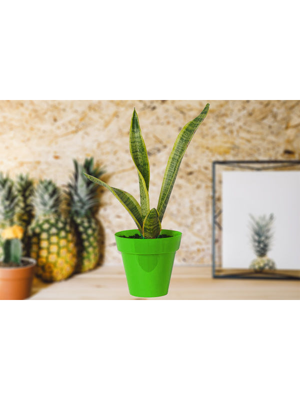 Air Purifying Snake Plant Sansevieria in Green Colorista Pot