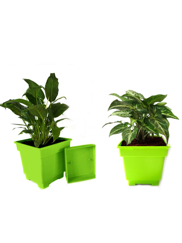 Peace Lily and Syngonium Air Purifying Plants Combo in Green Square Colorista Pot