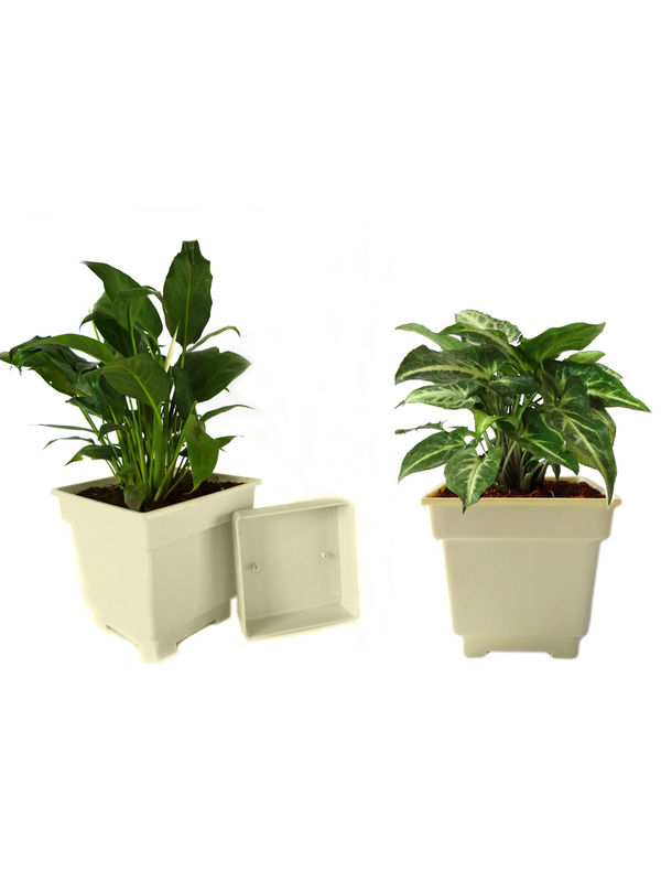 Peace Lily and Syngonium Air Purifying Plants Combo in White Square Colorista Pot