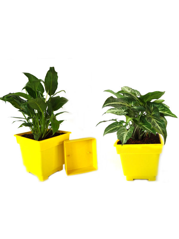 Peace Lily and Syngonium Air Purifying Plants Combo in Yellow Square Colorista Pot