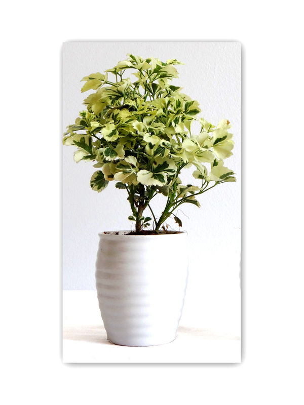 Aralia in White Round Ceramic Pot