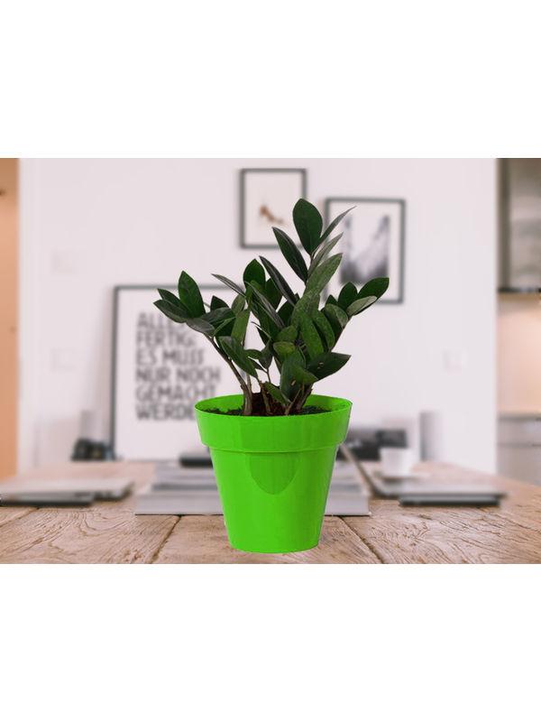 Zamia Plant in Green Colorista Pot