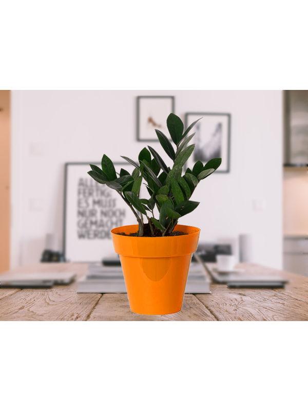 Zamia Plant in Orange Colorista Pot