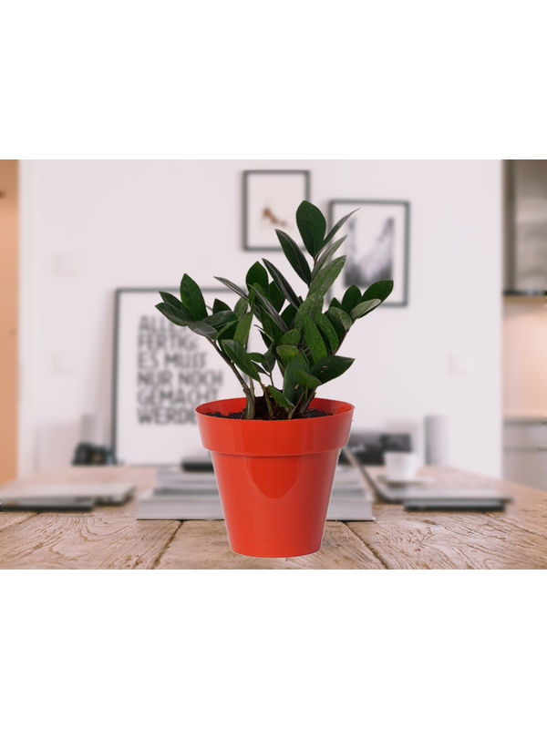 Zamia Plant in Red Colorista Pot