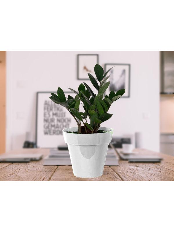 Zamia Plant in White Colorista Pot