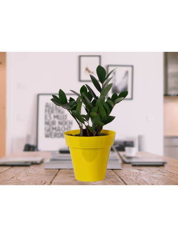 Zamia Plant in Yellow Colorista Pot