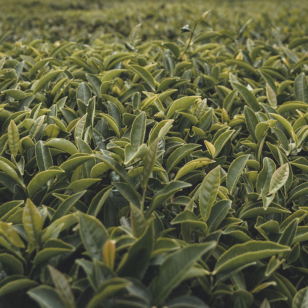 green tea leaf extract_edited