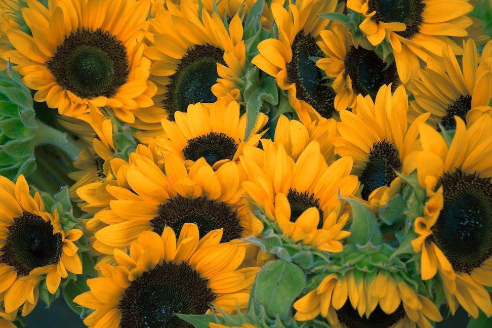 Sunflowers - Environmentally friendly