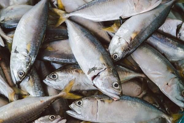 manfaat ikan tongkol bagi kesehatan