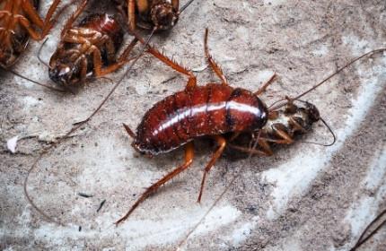 Cockroach Treatment