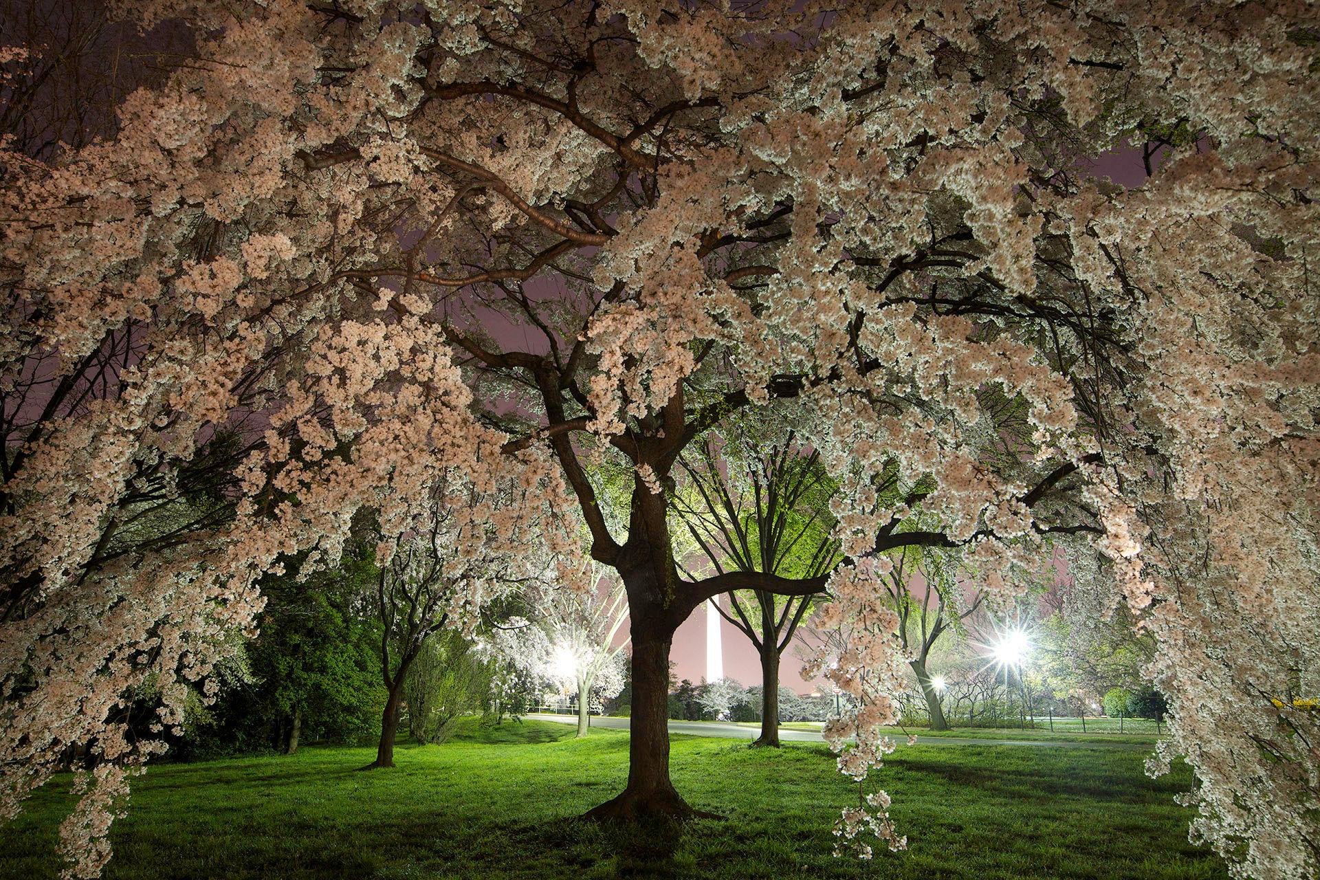 Cherry Blossoms Potomac Park #1