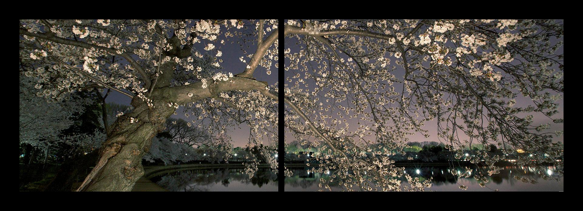 Cherry Blossom Diptych #5