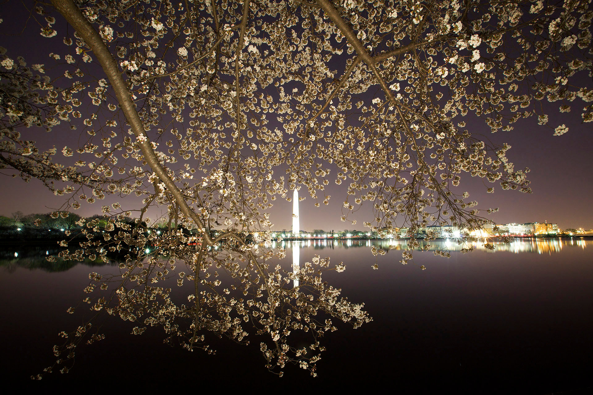 Cherry Blossoms 44