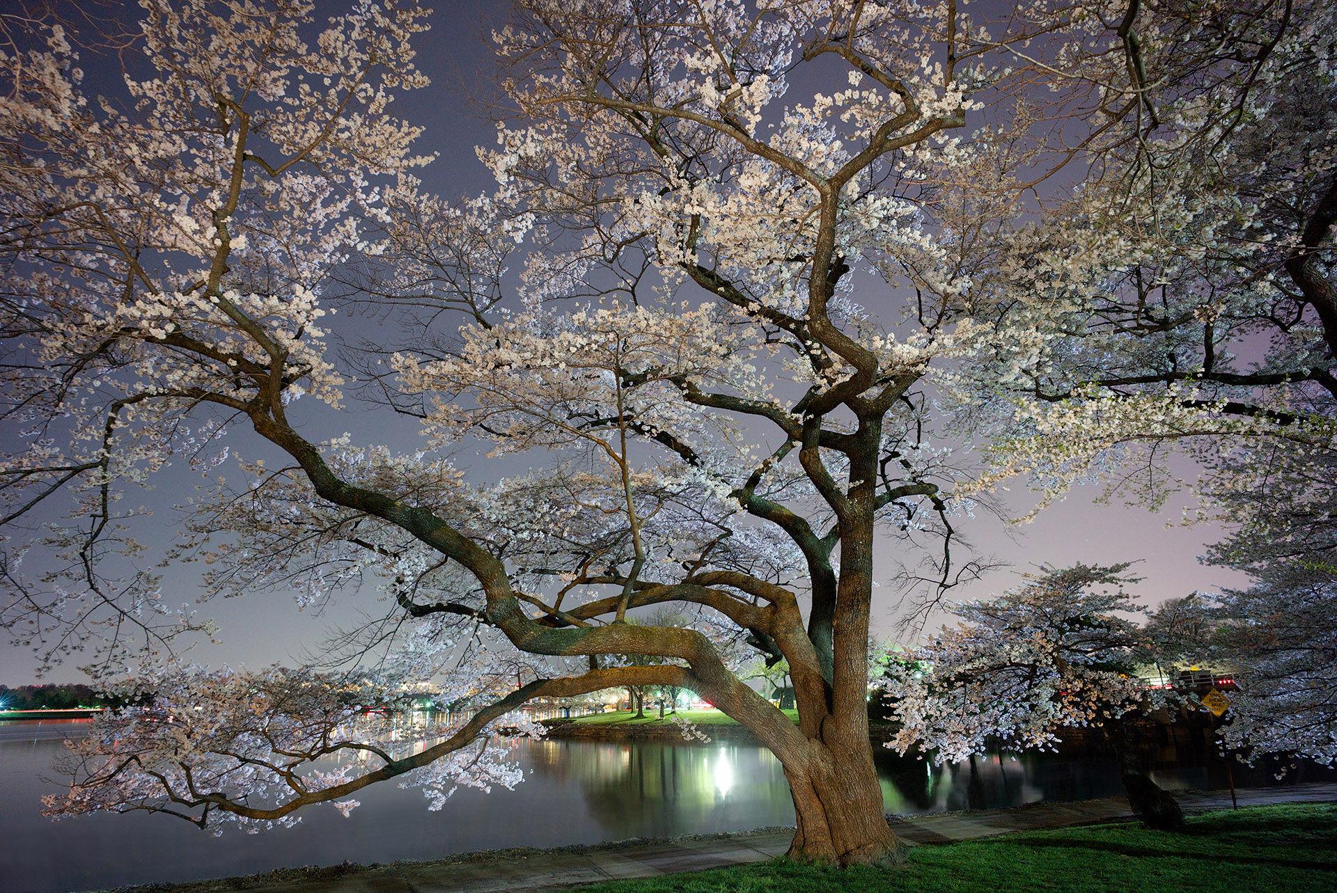 Cherry Blossoms Ohio Drive 2
