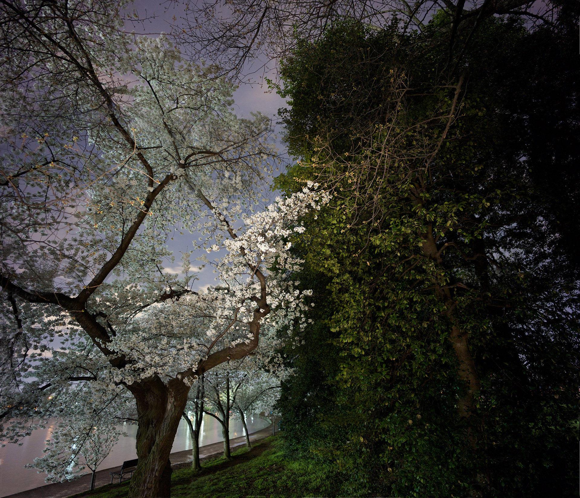 Cherry Tree and Hedge, Tidal Basin
