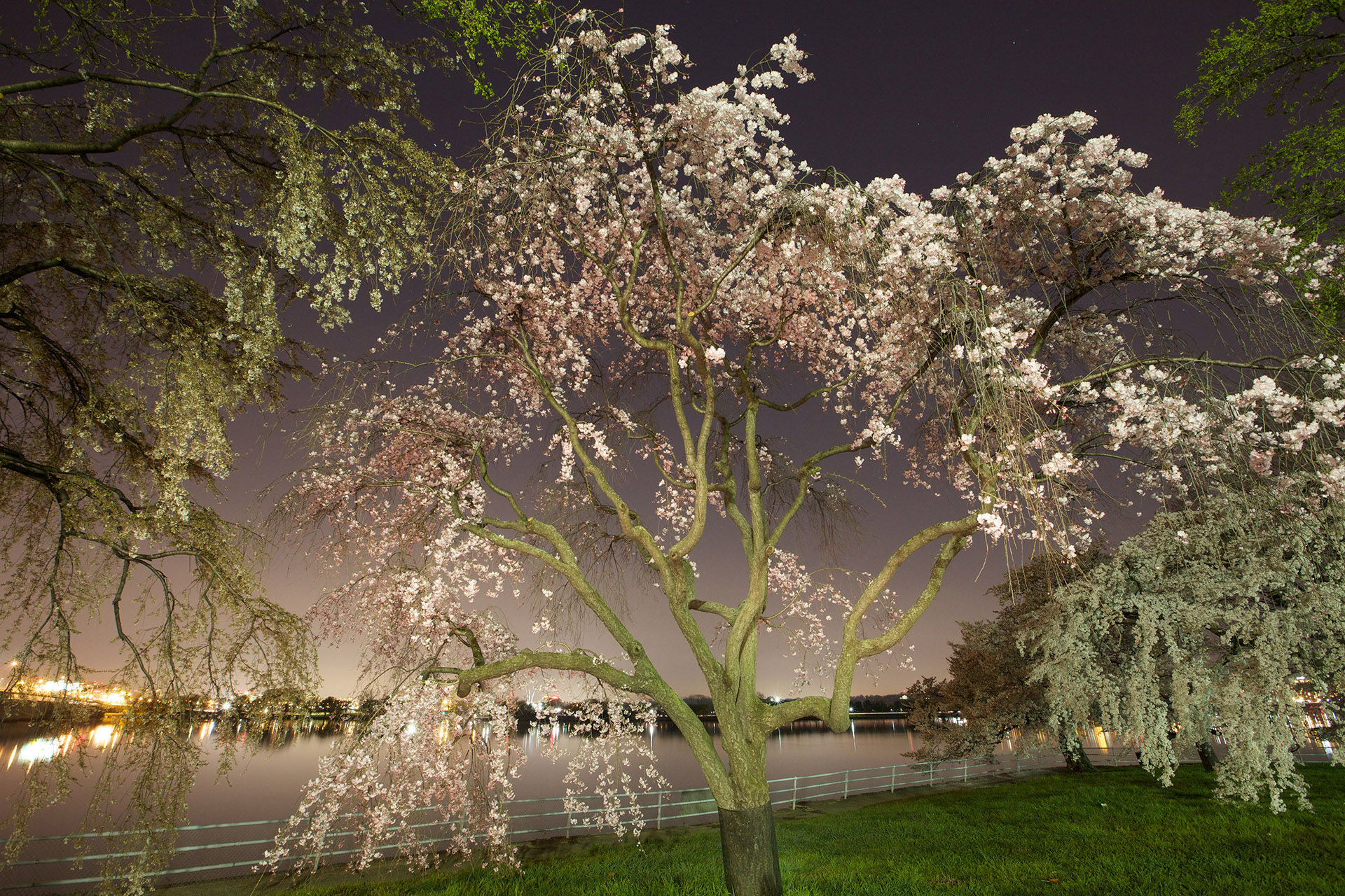 Cherry Blossoms Color