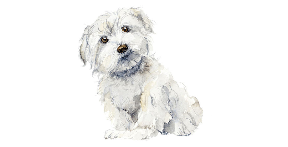 Watercolor of a maltese puppy, illustration by Budogosh for Adobe Stock