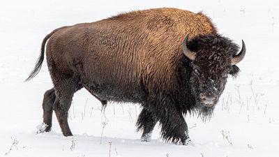Travel Bucket List: Animal Encounters at Yellowstone National Park