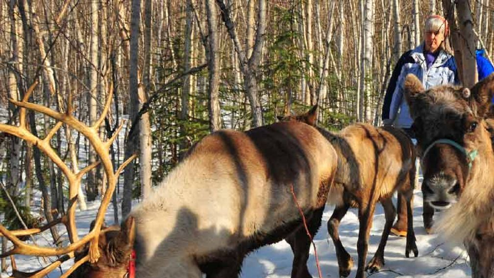 Reindeer play and chase one another at Running Reindeer Ranch. // © 2015 Christopher Batin 3