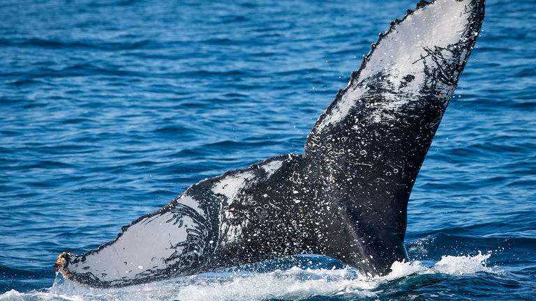 Time trips around May to spot humpback whales in Huskisson, Jervis Bay.