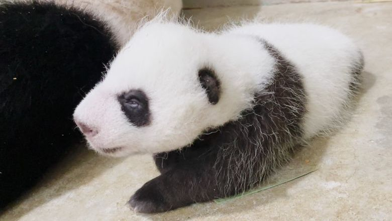 Singapore's giant panda Jia Jia and her newborn remain in an off-exhibit den while father Kai Kai continues to welcome visitors in the Giant Panda Forest.