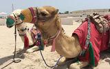 Camel rides on offer in the Qatar desert.