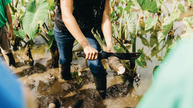 Families volunteering at a taro farm can learn about the vital crop while putting in some hard work.