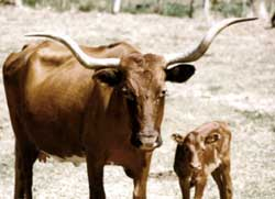 Picture of Longhorns at Fort Griffin
