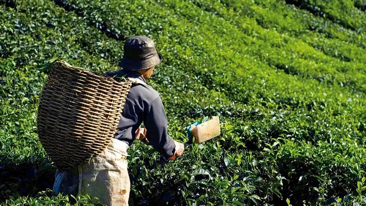 colheita-manual-na-agricultura-sustentavel