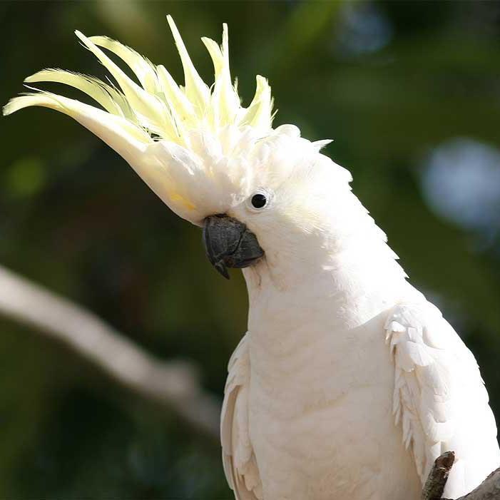 kakadupiratte (#540)