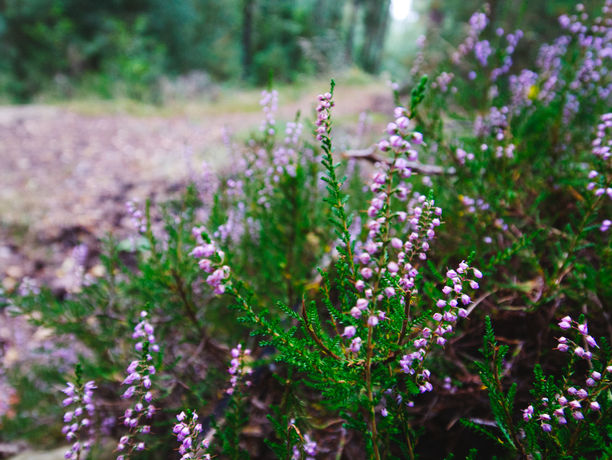 Bild von Heidekraut im Wald
