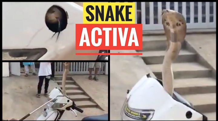 snake in a Honda Activa
