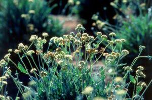Guayule cserje - Sivatagi cserjéből készített gumiabroncsot a Bridgestone - ClimeNews