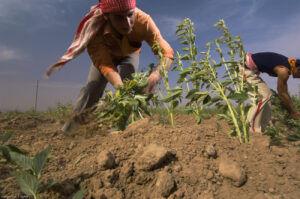 Szezámot szüretelnek szíriai földművesek 2007 októberében Fotó: Jim Richardson
