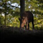 Radioaktivak az állatok Csehországban