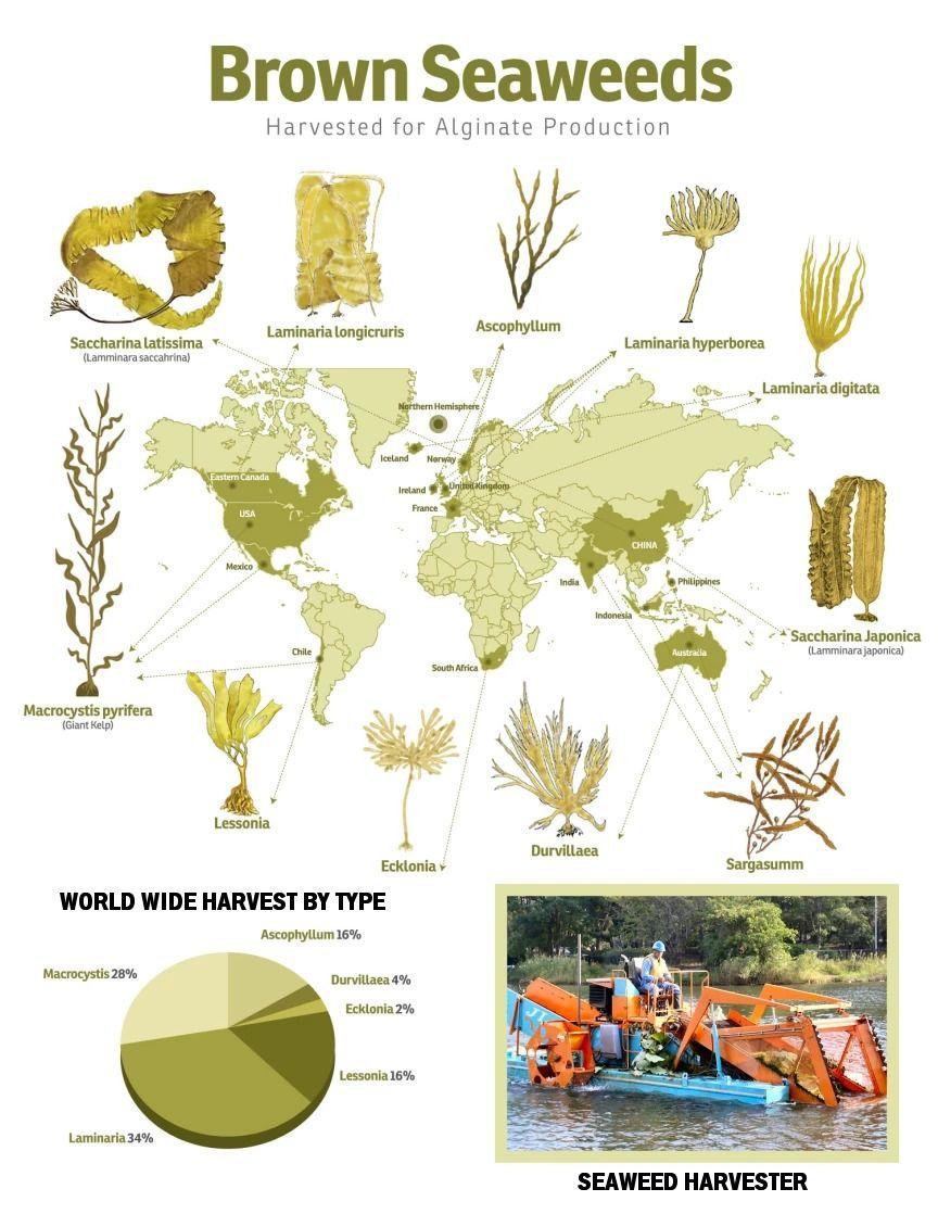 Brown Seaweeds Used in Making Alginate