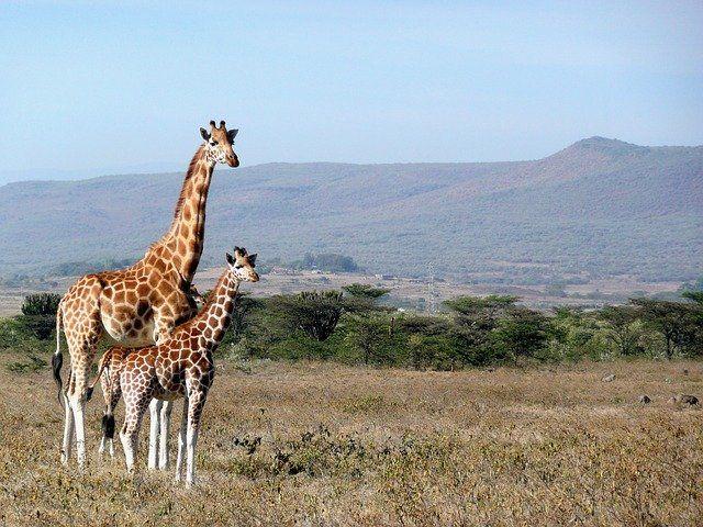 giraffe-1955126_640