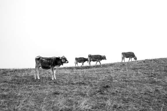 Cows on Mont Salève