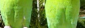 Loros del Amazonas. Características y Cuidados