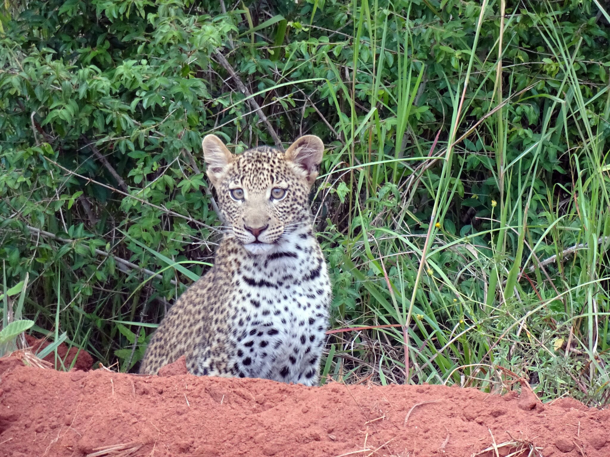 Go and see a Leopard on your Gap Year, one of Kenya's big five