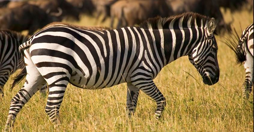 See zebra on your Free Safari Gap Year Experience