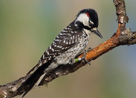 Male Red cockaded Woodpecker Robert Royse 1