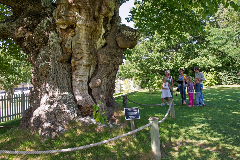 Sockerdricksträdet, uggleträdet,almen på Näs