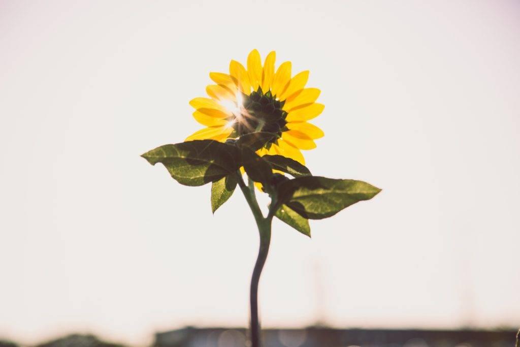yellow flower sun through leaves